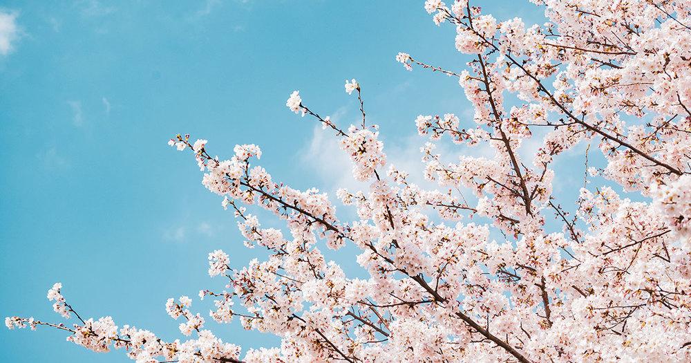 桜の季節!桜についての豆知識とお花のご紹介